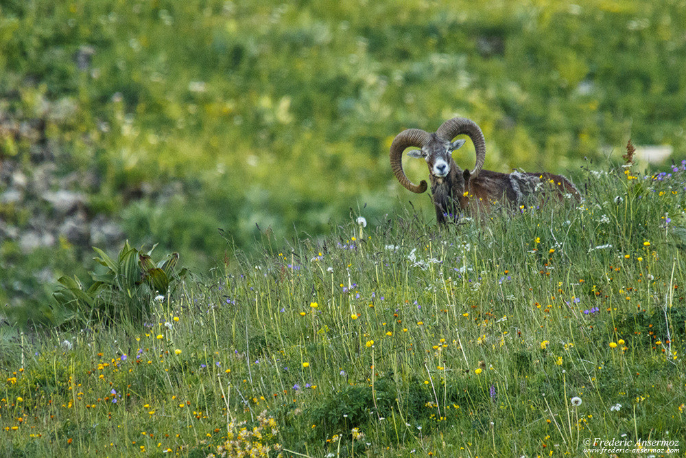 Mouflon in Switzerland