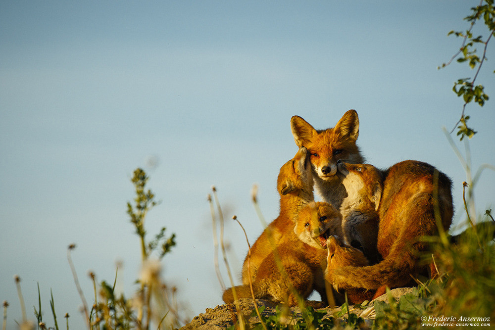 Fox Female and Cubs