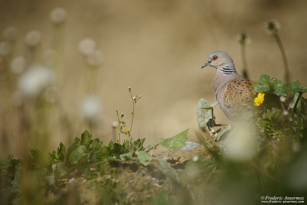 European Turtle Dove
