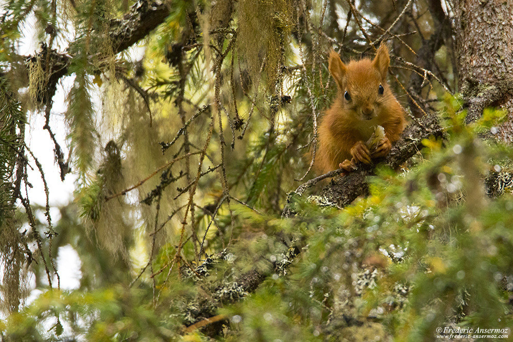 Squirrel in a tree, Wildlife in Finland