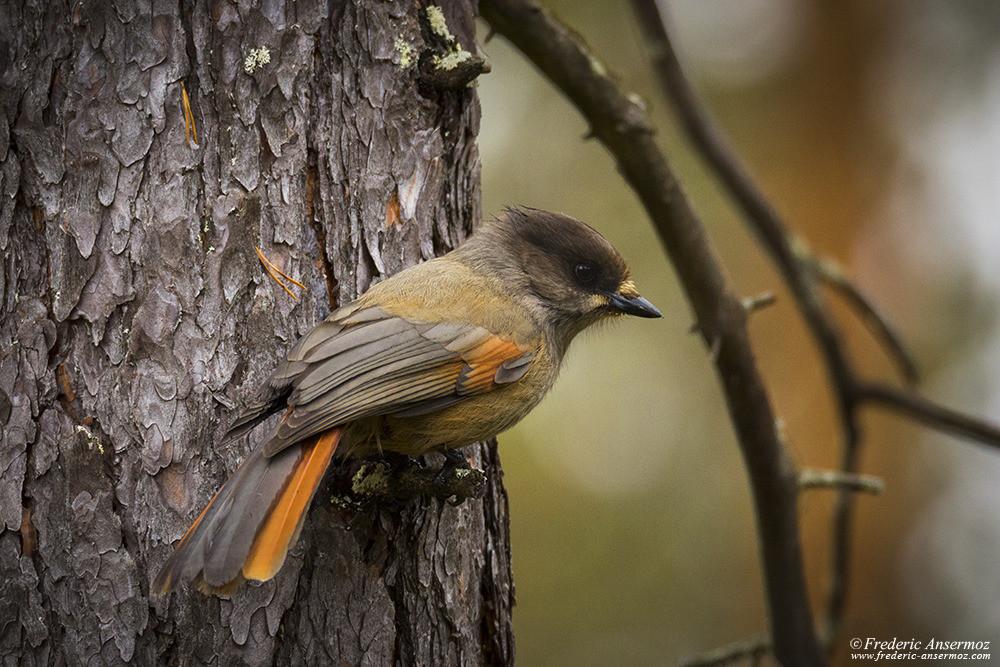 Mésangeai imitateur (Perisoreus infaustus), oiseau de Finlande, parc Oulanka