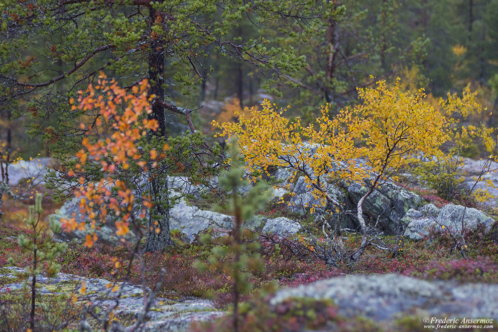 Colorful tree in Finland, Autumn in Lapland