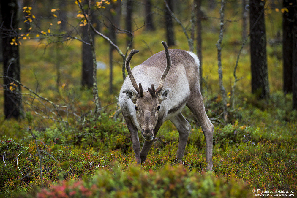 Reindeer in finnish forest, wildlife in Finland