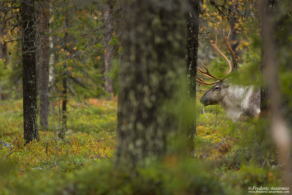 Watching reindeer in the woods, Finland