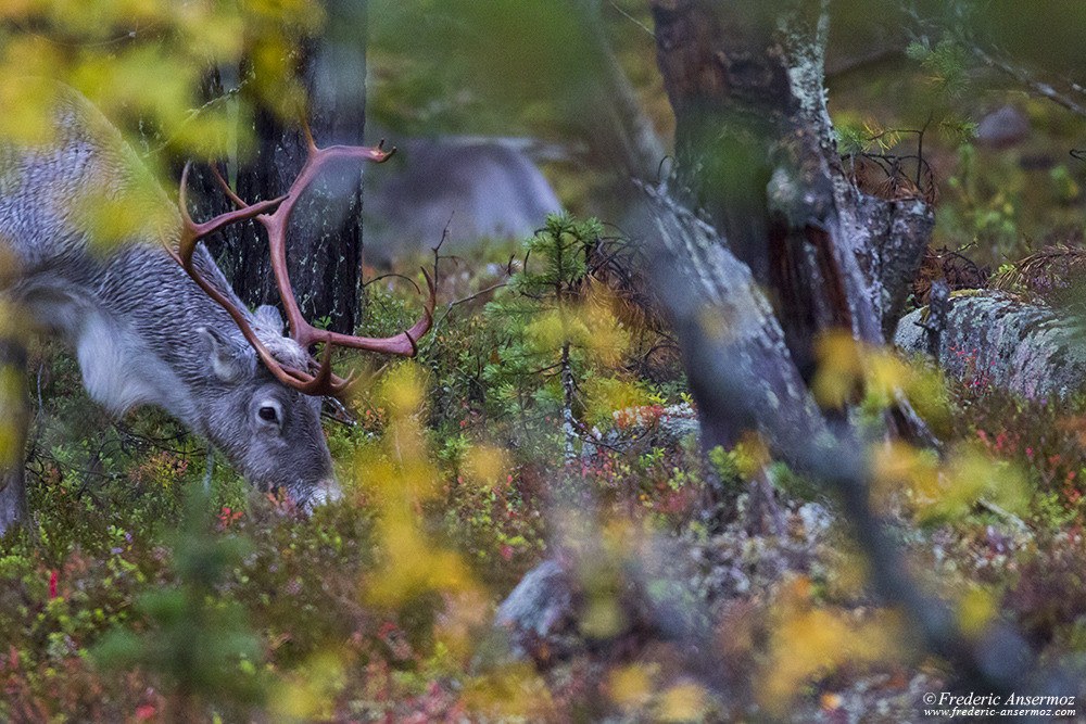 Reindeer in Finland, eating in forest