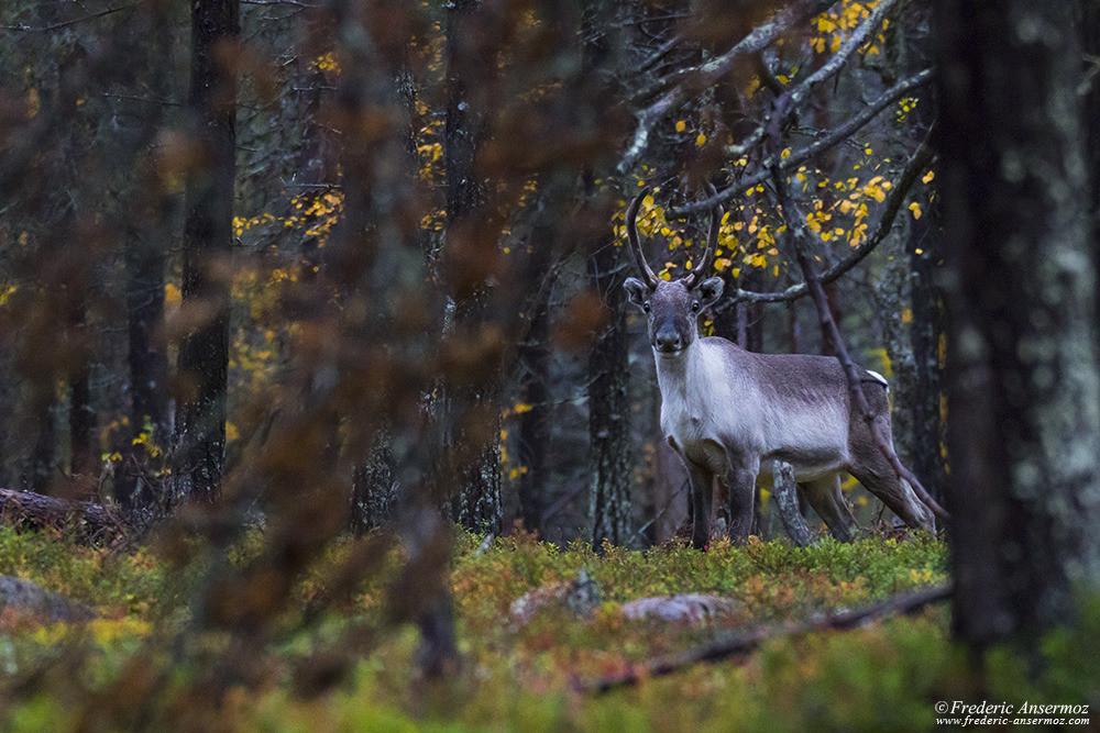 Renne en Finlande, forêt en Laponie