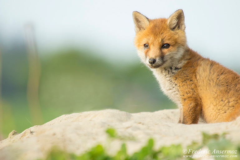 Fox cubs 03