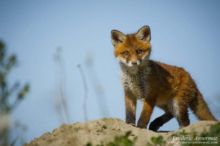 Fox cubs 05