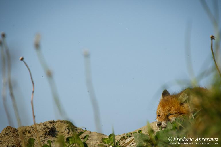 Fox cubs 07