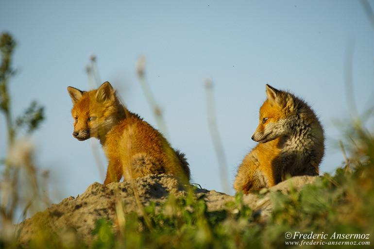Fox cubs 09