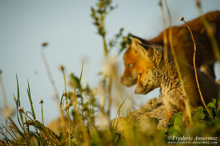 Fox cubs 10