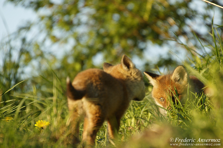 Fox cubs 12