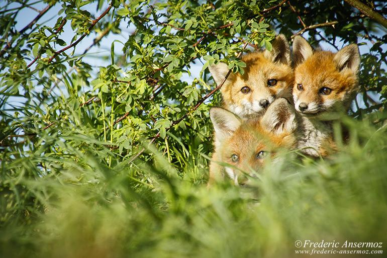 Fox cubs 14