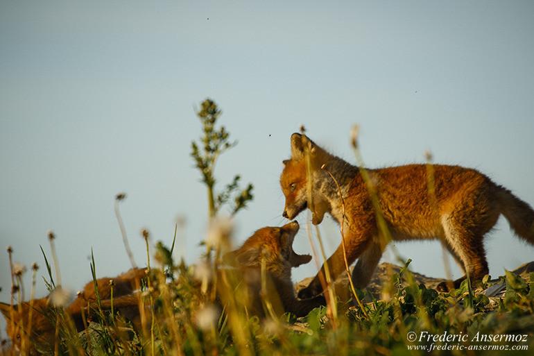 Fox cubs 15