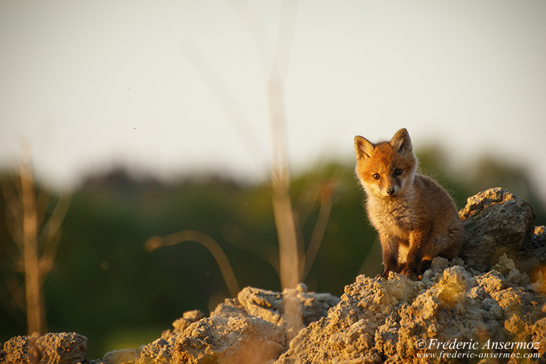 Fox cubs 17