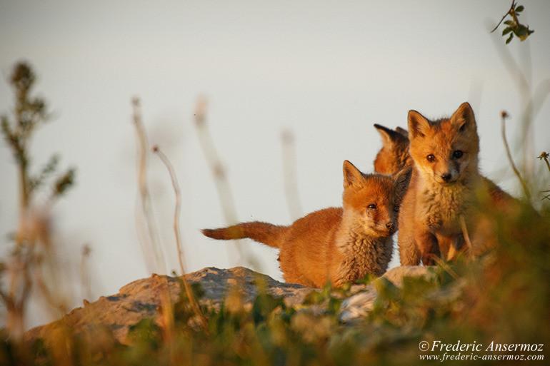 Fox cubs 18