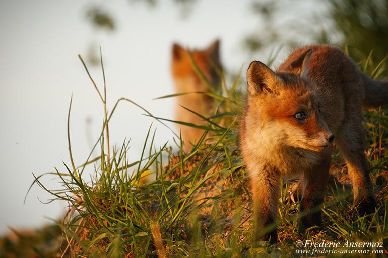 Fox cubs 19