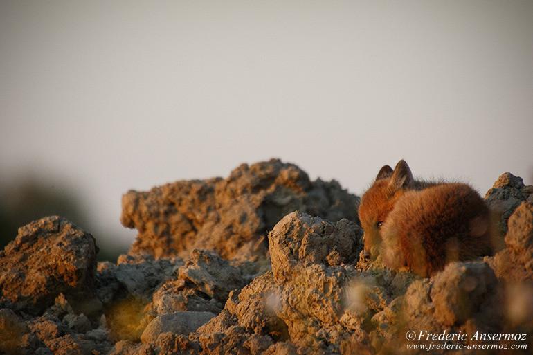Fox cubs 20