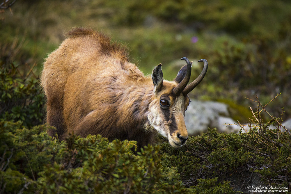 Chamois of Gran Paradiso national park, Italy