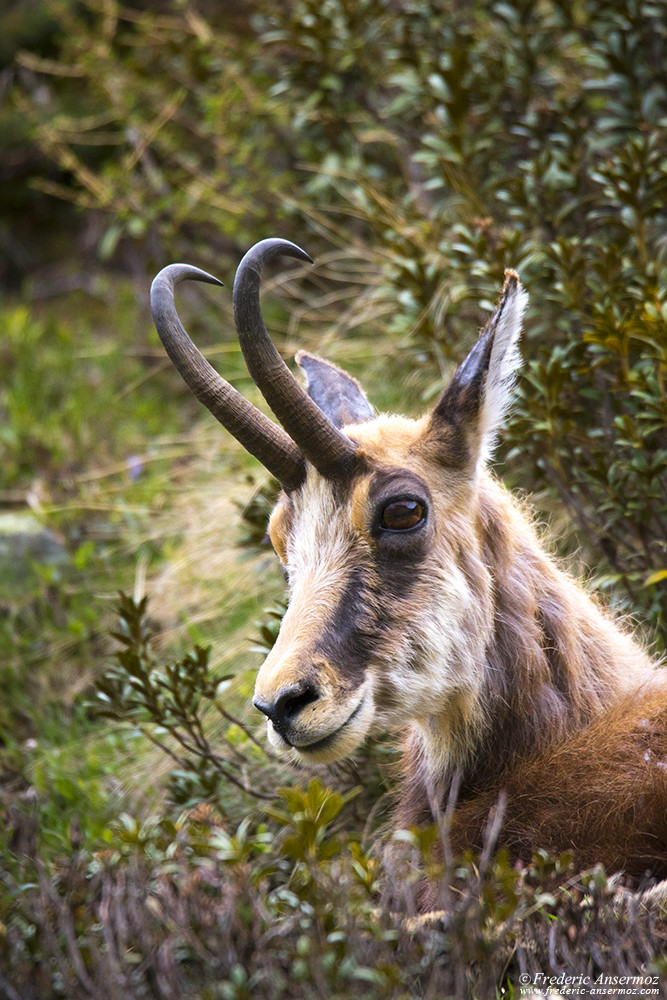 Chamois portrait, Wildlife of Gran Paradiso