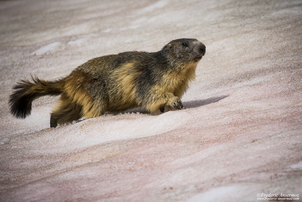 Marmot walking on the snow