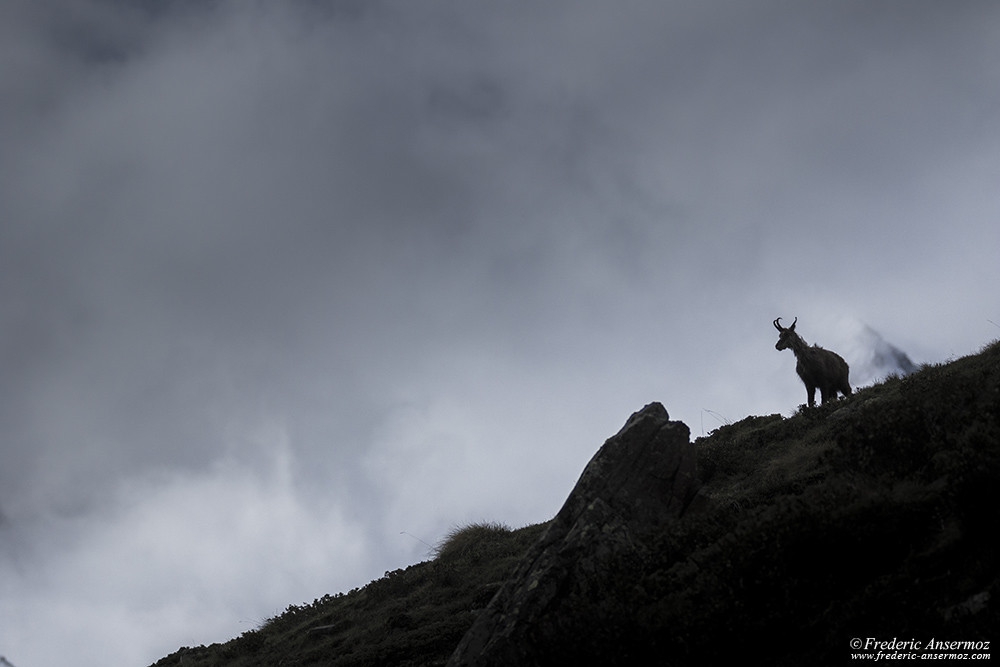 Chamois on the heights, Gran Paradiso park