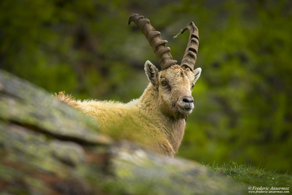 Alpine ibex in Gran Paradiso National Park, Italy