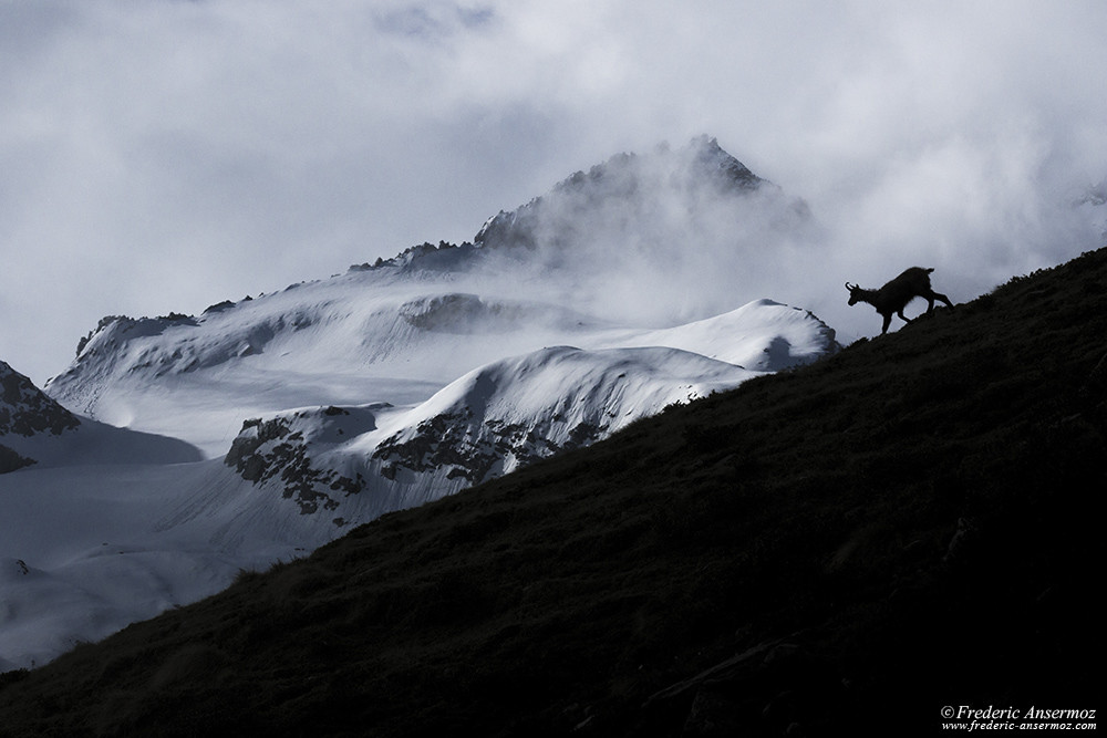Chamois silhouette on mountain ridge, snow capped mountains