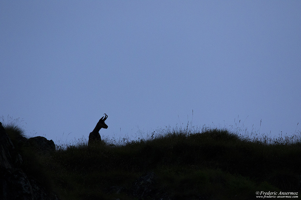 Chamois silhouette on mountain ridge