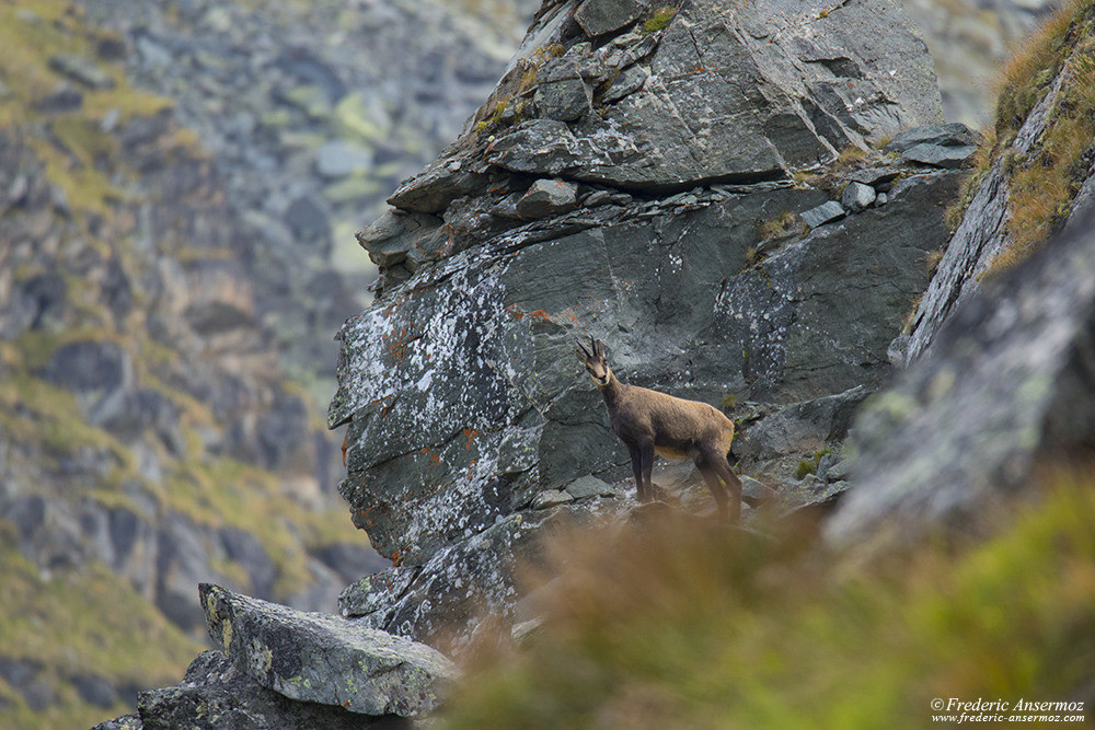 Chamois in Haut Val de Bagnes, Swiss Wildlife