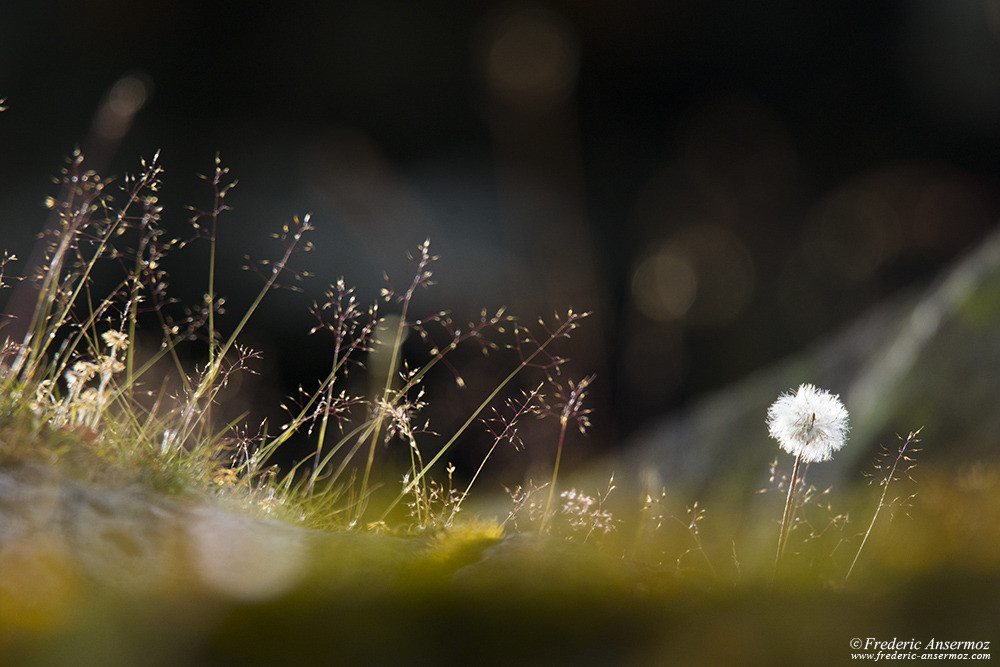 Ray on light on a dandelion in the mountains