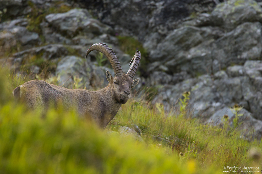 Ibex, reintroduced in Bagnes from 1926