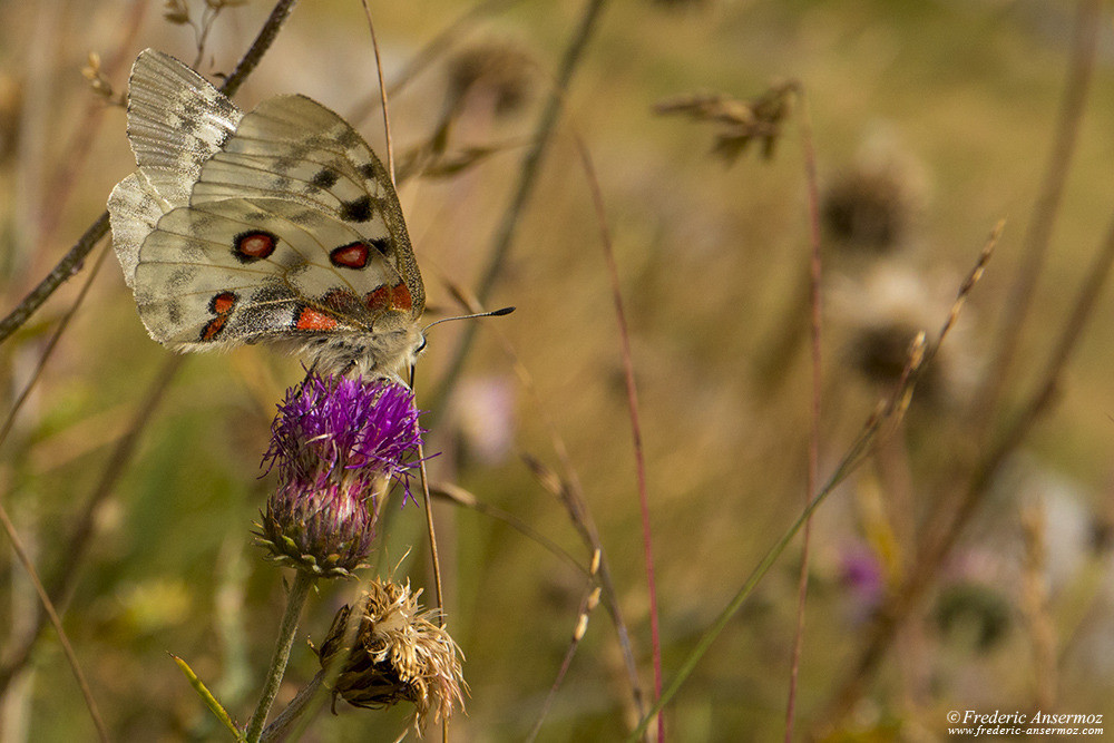 The Apollo butterfly or mountain Apollo (Parnassius apollo)