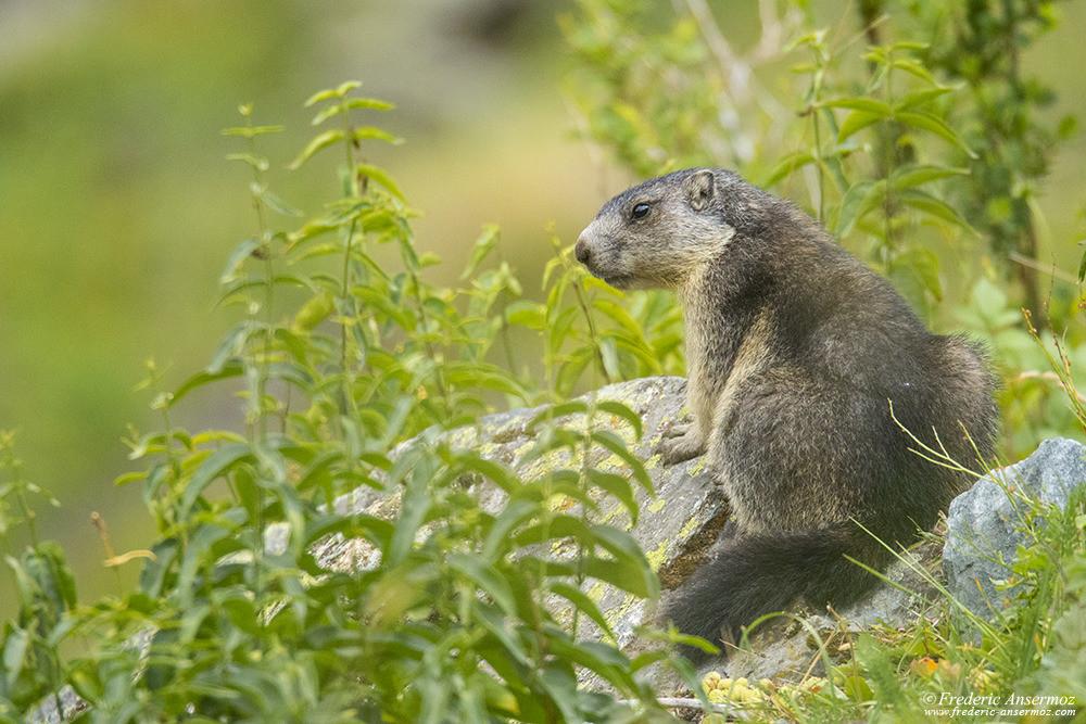 Marmotte dans le Haut Val de Bagnes