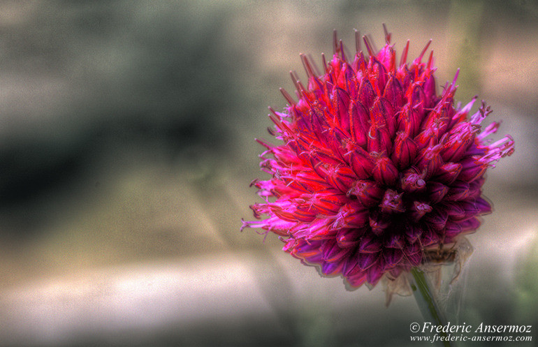 Thistle hdr