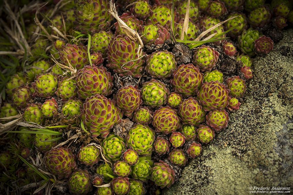 Mountain Houseleek, Sempervivum montanum, Alpine flora