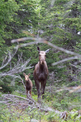 Moose cow and baby in forest in Quebec