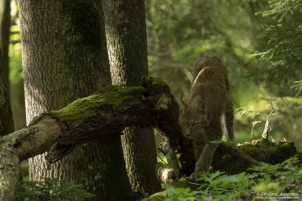 The Lynx in Europe, another species to protect