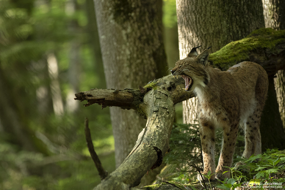 Lynx yawning in the Wild