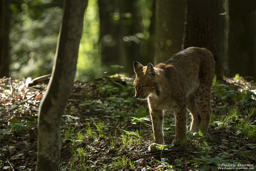 Wildlife photography with big cats, Lynx in the Alps