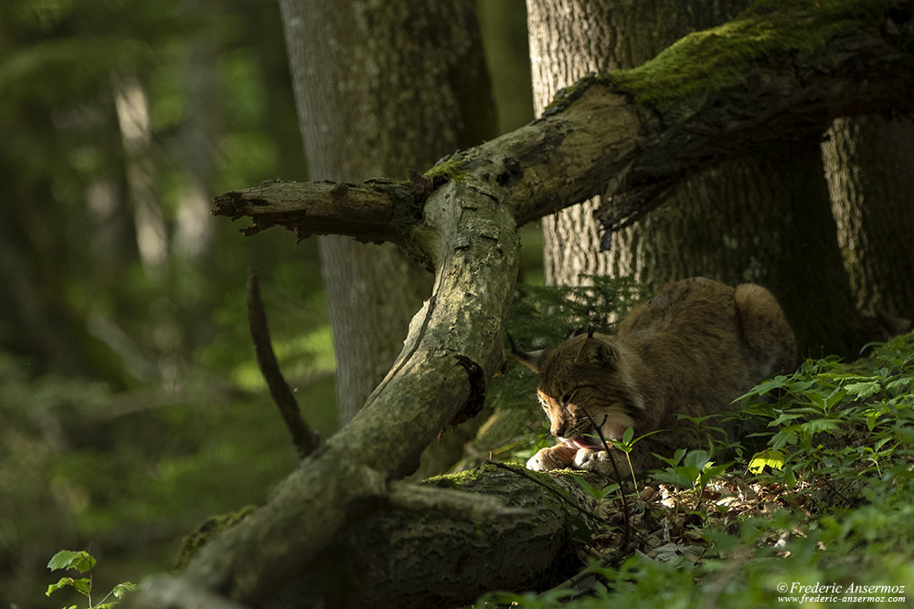 We have to protect the Eurasian Lynx in Switzerland