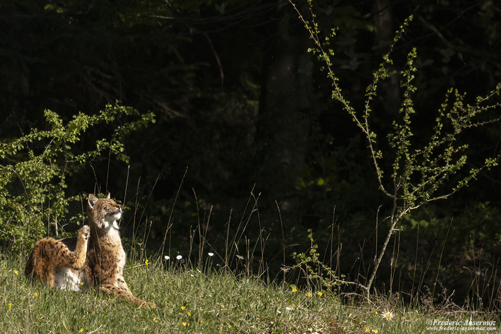 Lynx posing under the Sun