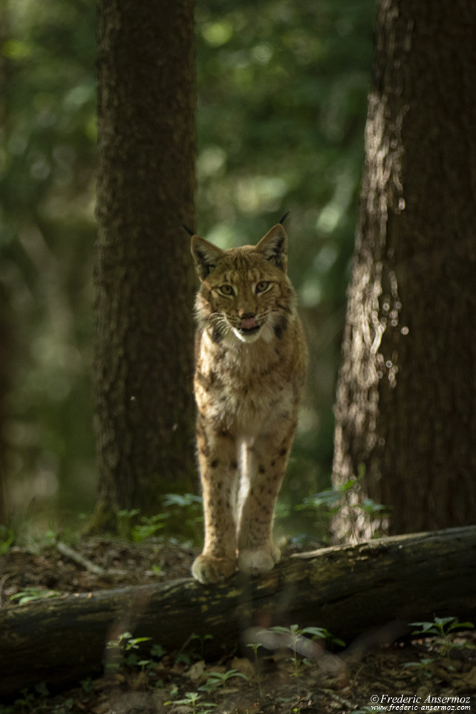 Face to face with a lynx in the woods