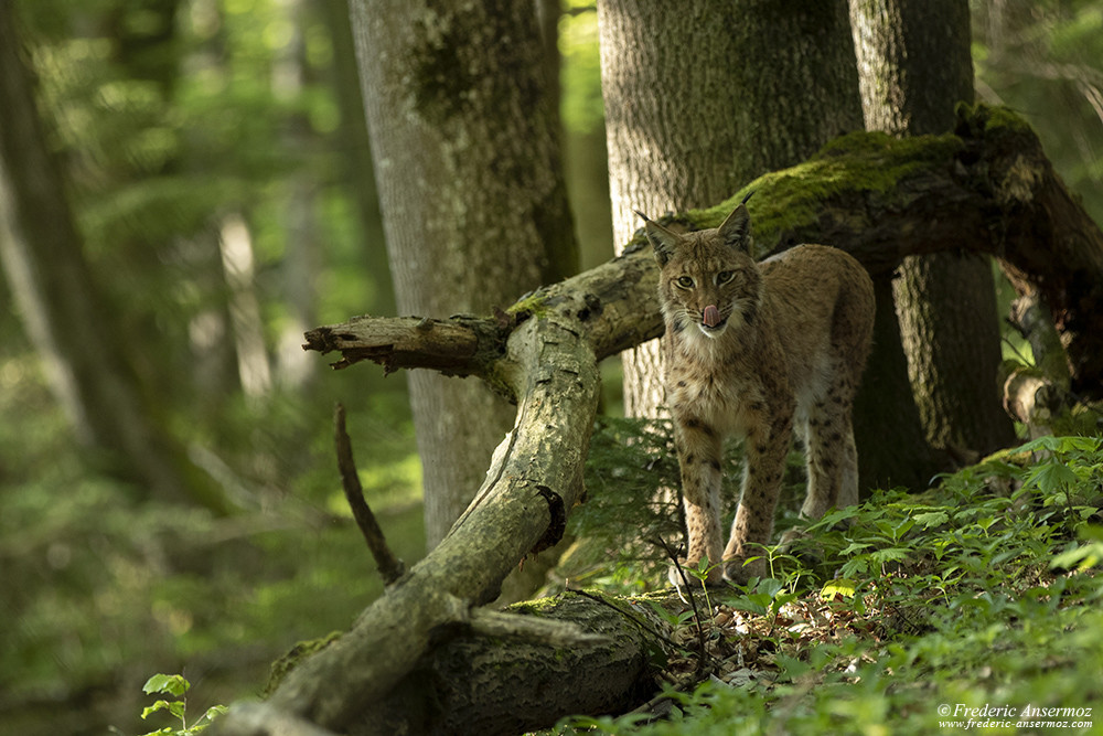 Lynx facing camera, wildlife photography