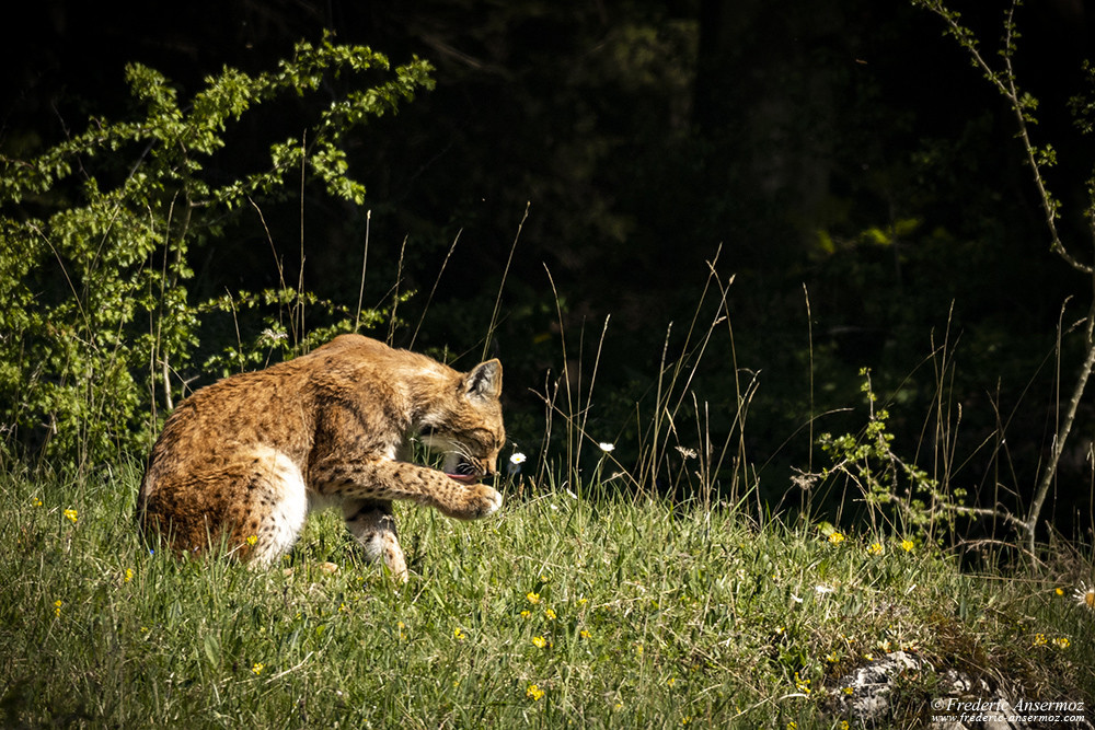 Lynx licking its paws
