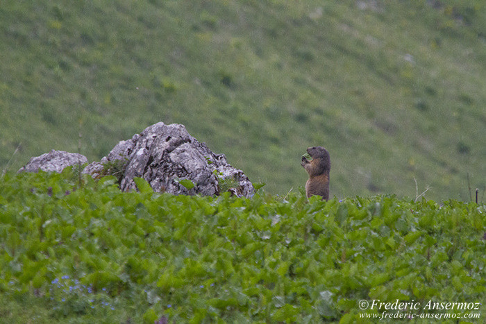 Marmotte mange