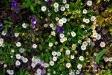 miranda-pang-photograhy-daisies
