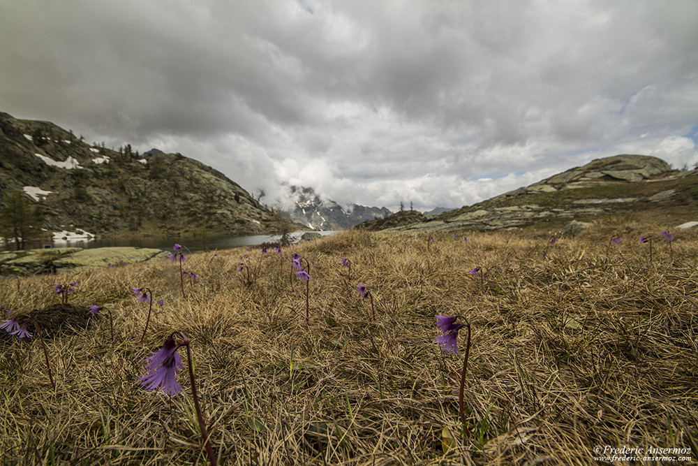 Wildflowers in the mountains, Mont Avic