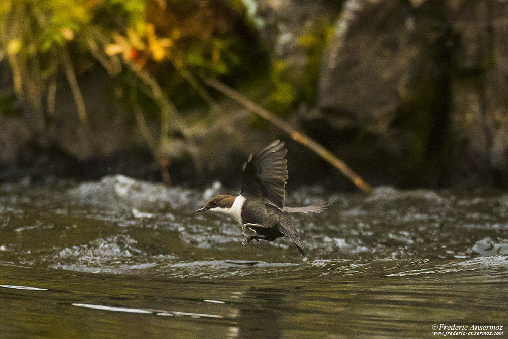 White-throated dipper in flight, bird of Finland, Cinclus cinclus
