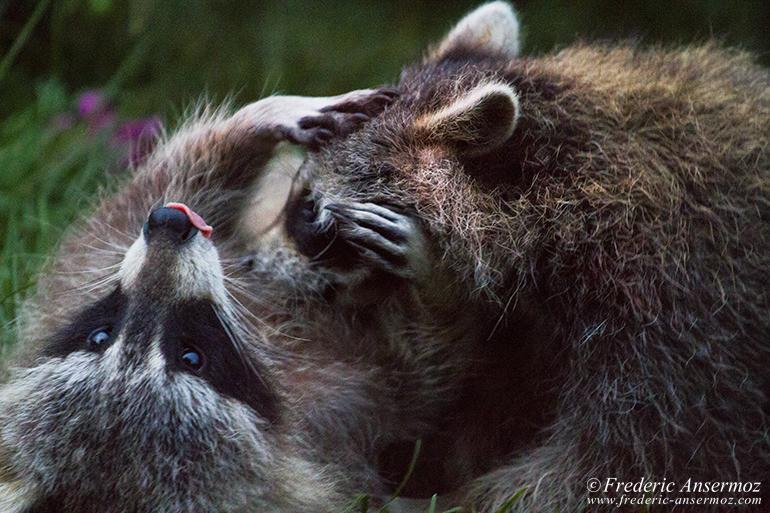 Raccoons cudling